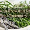 How to Grow and Dry Your Rosemary