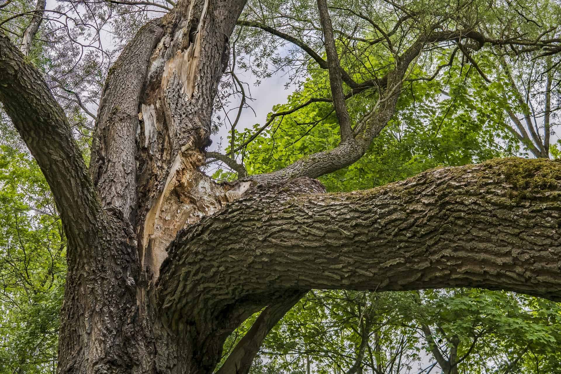 large Tree with ripped off branch caused by strong winds