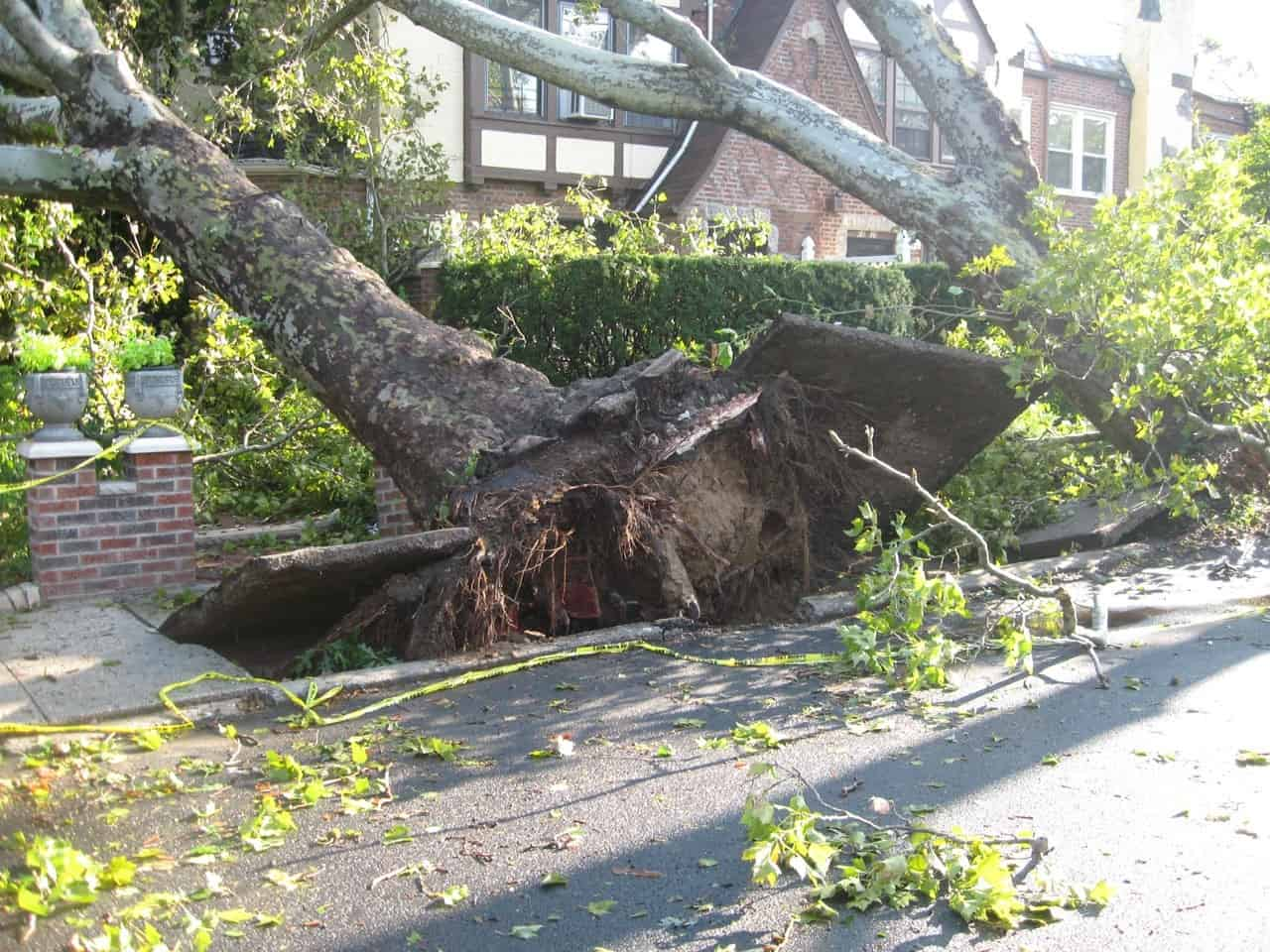 large trees on sidewalk completely uprooted by strong winds