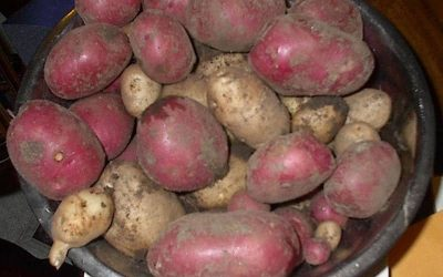 What You Need to Know about Growing Spuds in a Potato Tower (3 Ways)