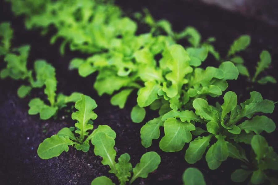Lettuce is an excellent fall vegetable for growing