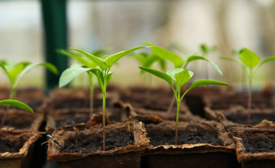 Seedlings that are thriving because someone knew When to Start Seeds Indoors